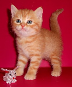 Кошка UA*Busyabri Irisha Ariana (BRI d 24) окрас красный СВОБОДНА