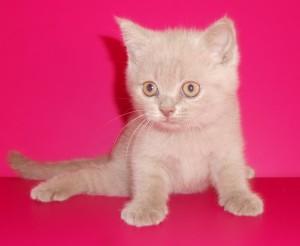 UA*Busyabri Ivan Brian (BRI c) Кот окрас лиловый СВОБОДЕН
