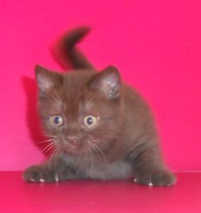 UA*Busyabri Ilyas Belous (BRI ns) Кот шоколадный дымный СВОБОДЕН